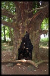 ogham yew tree 2