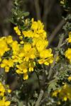 ogham broom flowers