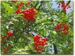 ogham rowan berries
